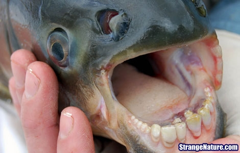 Man catches fish with human-like teeth in Arizona! Strange+fish+with+human+teeth+3