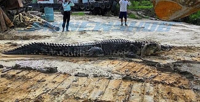 Gambar Sang Bedal 4.75 Meter Ditangkap Di Miri, Sarawak, info, terkini, berita, buaya sarawak