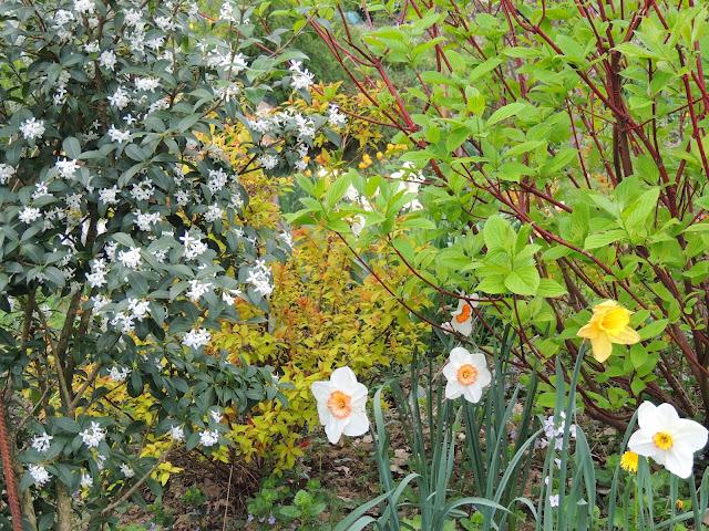 arbuste floraison blanche parfumée