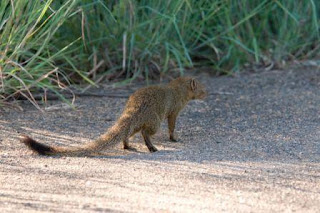 Slender-Tailed-Mongoose-Africa
