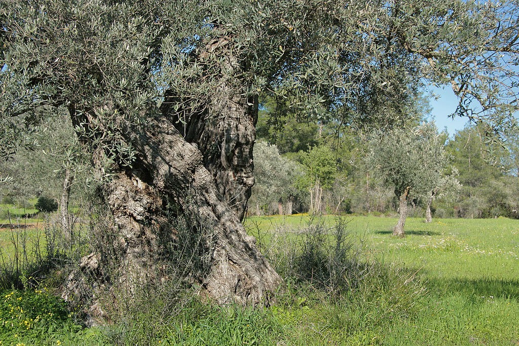 Europe's olive trees threatened by spread of deadly bacteria