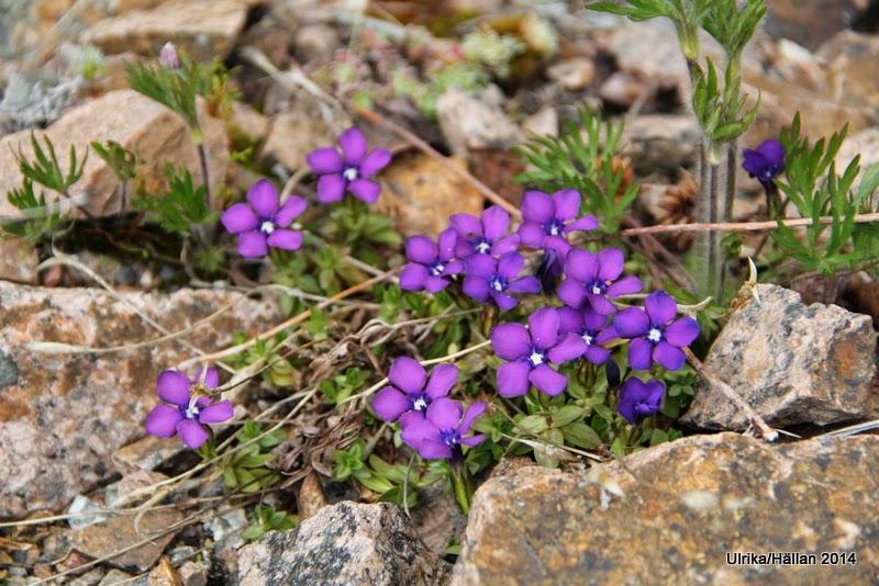 Gentiana verna Violet Form