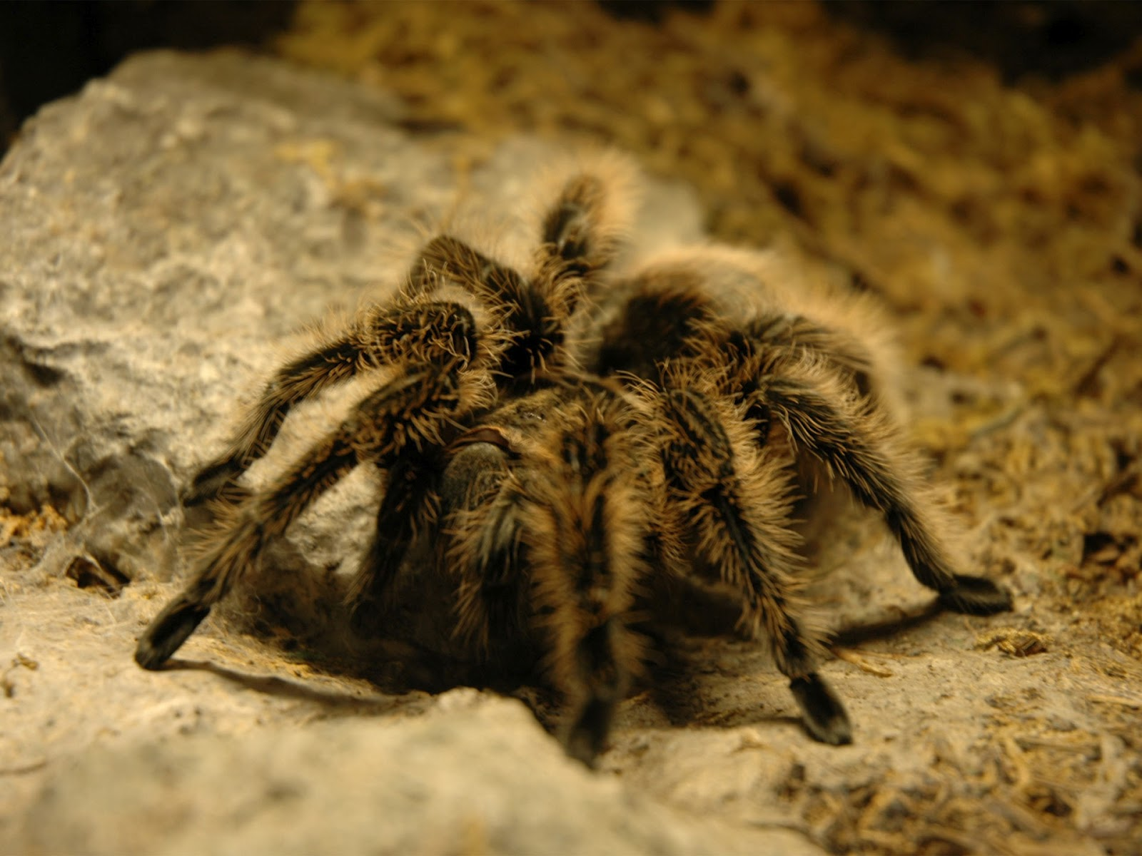 16 Tarantula HD Wallpapers | Backgrounds - Wallpaper Abyss