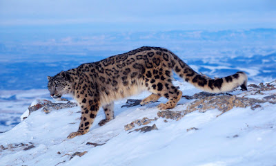 of global climate change on snow leopard habitat in the Himalayas