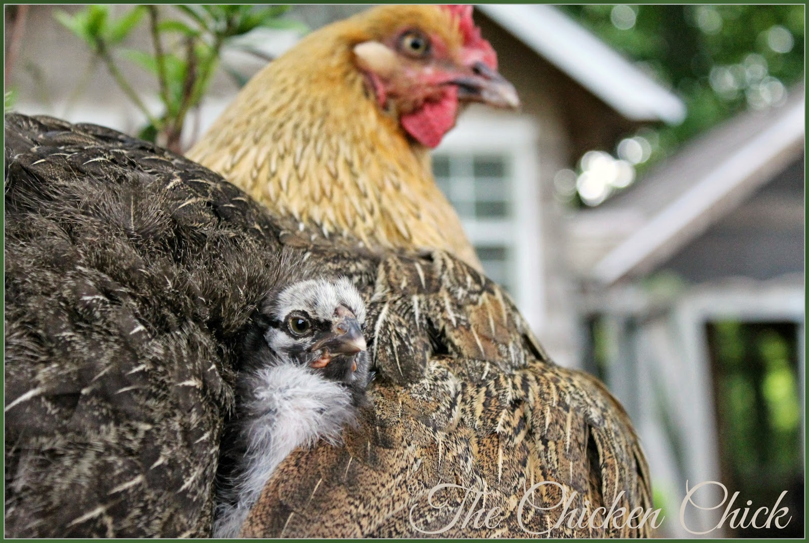 Marans hen with adopted chick.