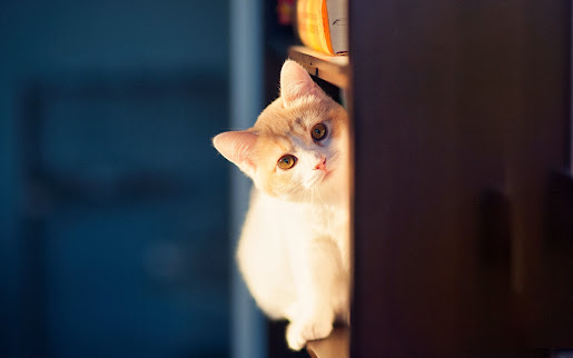 Little cute cat hd wallpaper animal image