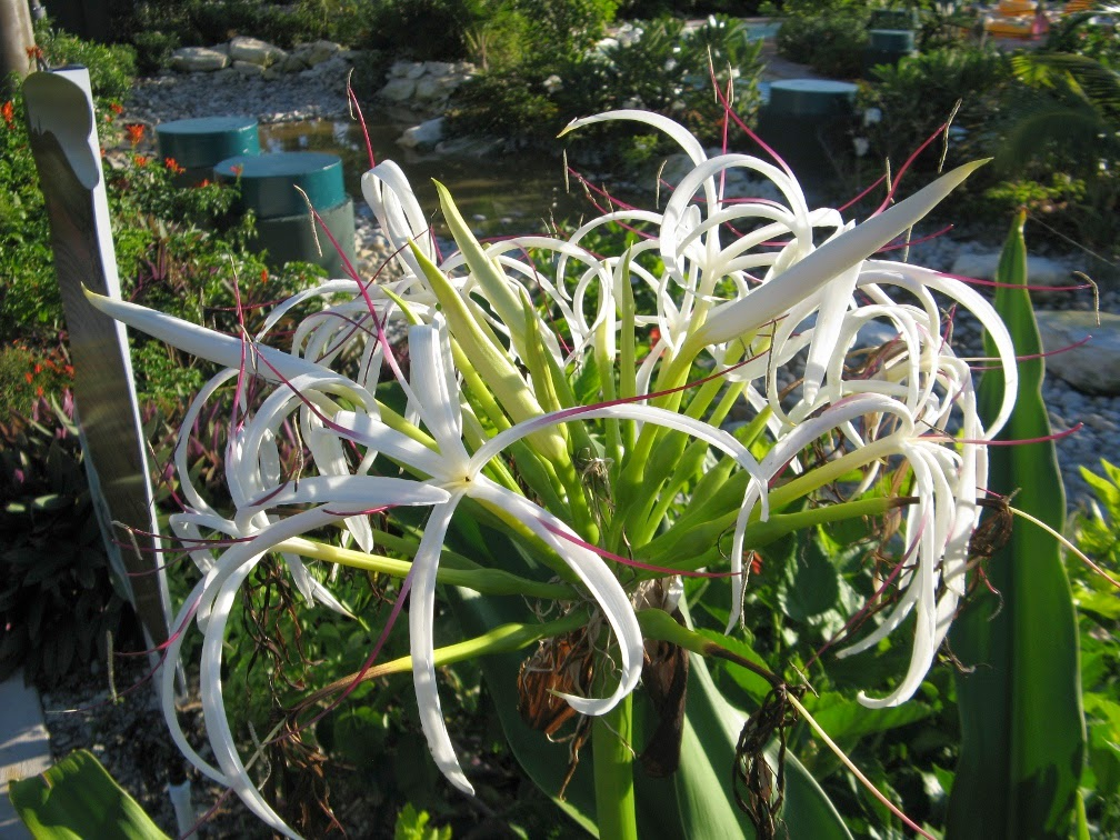 White crinum lily asiaticum Turks Caicos by garden muses-not another Toronto gardening blog