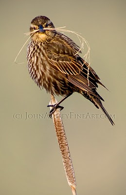 female Red-winged Blackbird (c) John Ashley