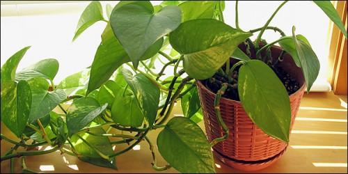 Φυτά εσωτερικού χώρου: διακοσμούν και σώζουν ζωές!