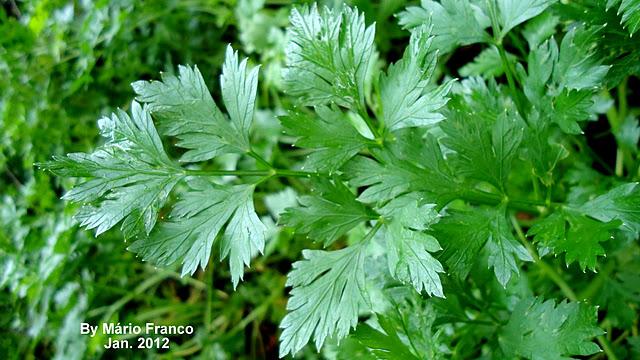 Meu cantinho verde salsa petroselinum sativum for Salsa de hierba luisa