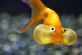 Carrasius auratus Japon Balığı