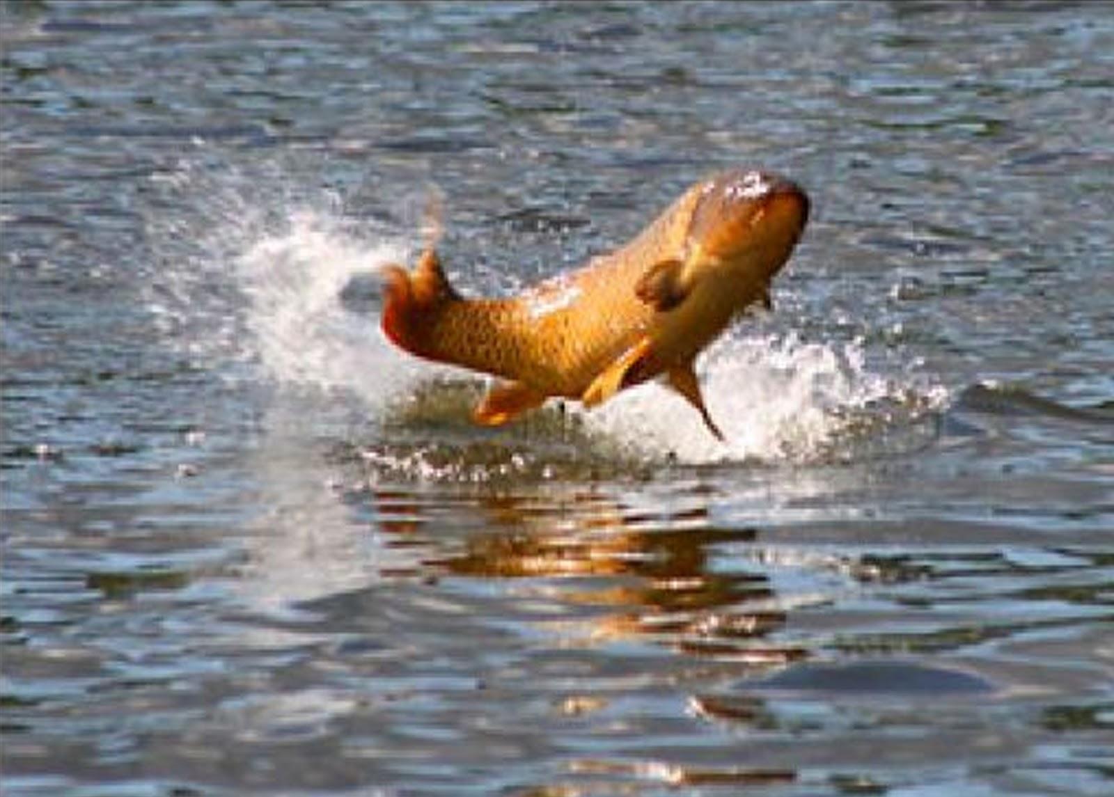 Common carp for Carp fish pictures