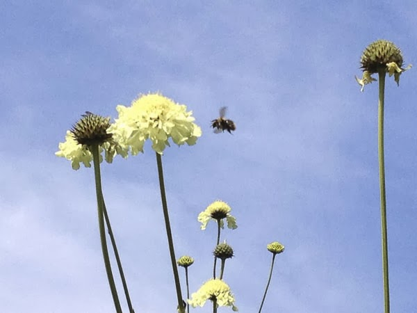 humla, blomma, himmel, sommar