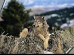 Os Lobos Também