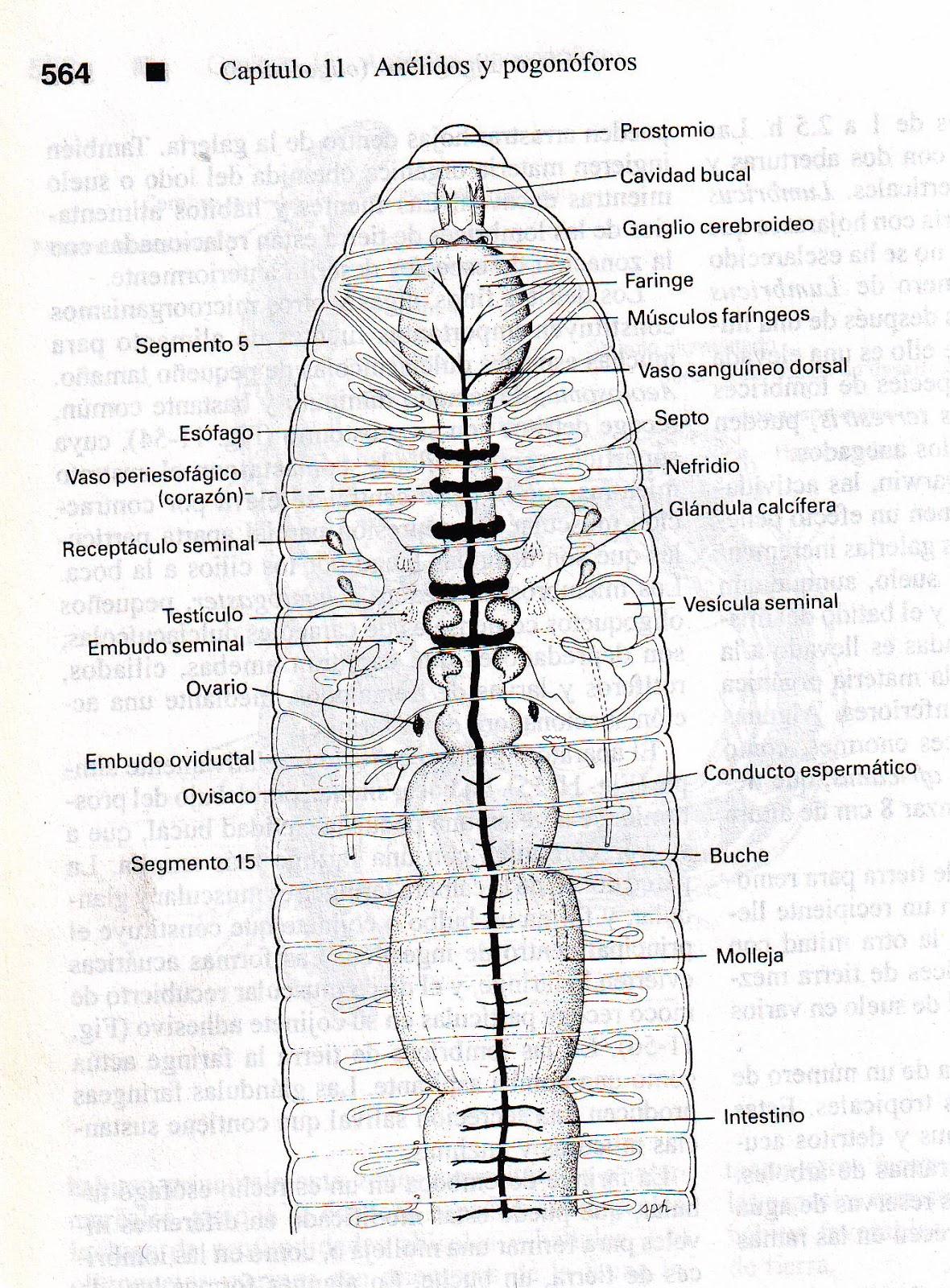 Contemporáneo Anatomía Externa De Una Lombriz De Tierra Friso ...