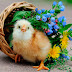 Cute Baby Chickens with Flowers photos