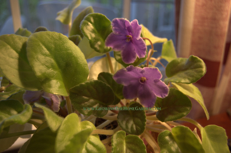 how to get my violets to bloom