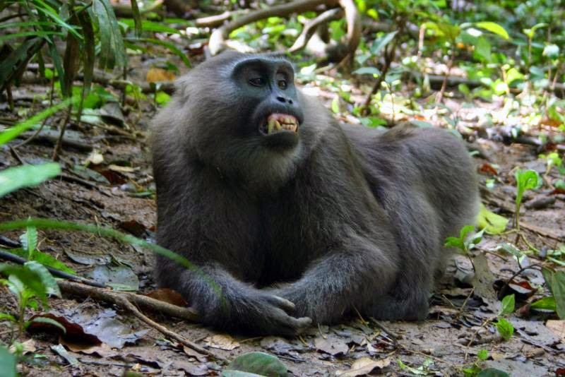 Macaca Maura | Cagar Alam Karaenta