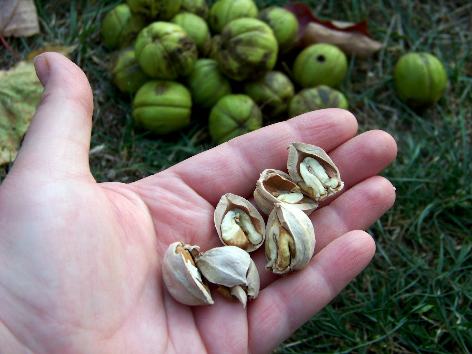 how to open hickory nuts
