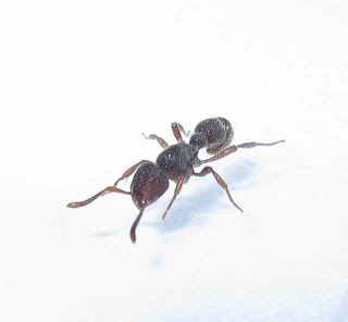 A worker of Proceratium deelemani ant