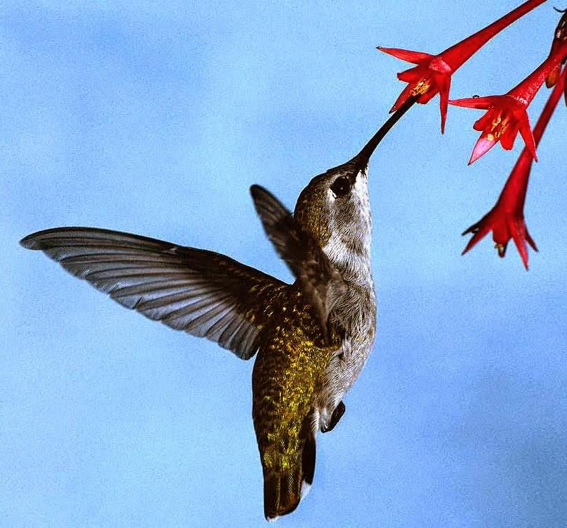 Fling Hummingbird