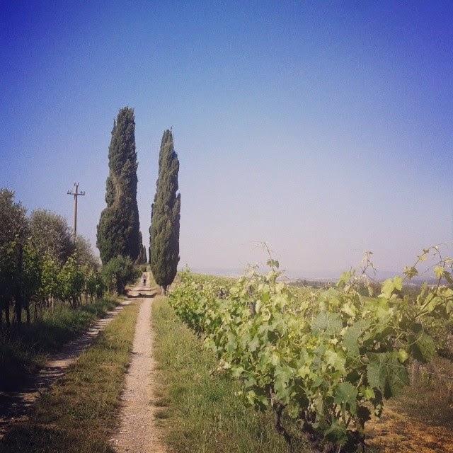 A vineyard and cypress trees at the Pacina winery near Siena