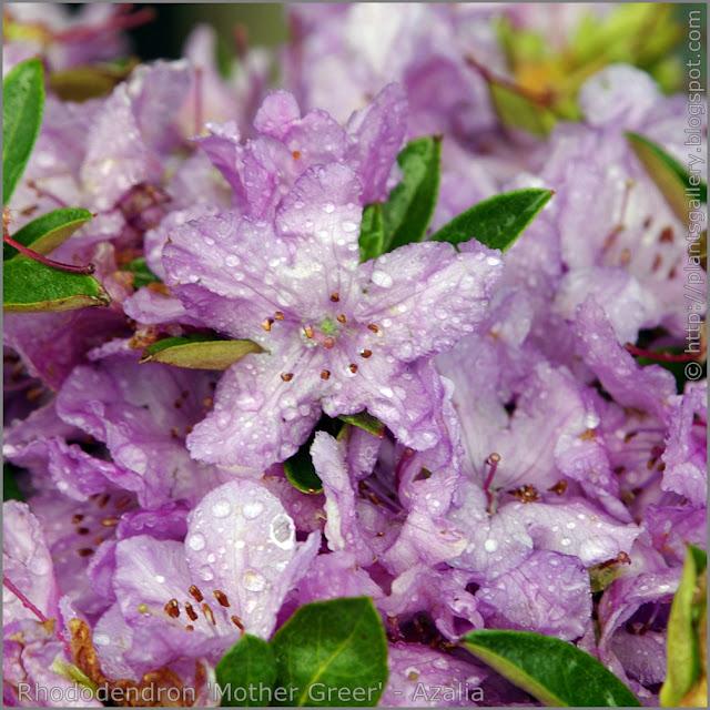 Rhododendron 'Mother Greer' - Azalia 'Mother Greer' kwiaty