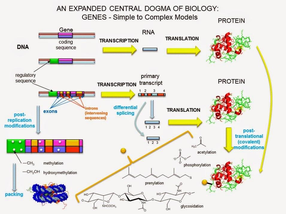 Genes y genomas | Apuntes de Bioquímica
