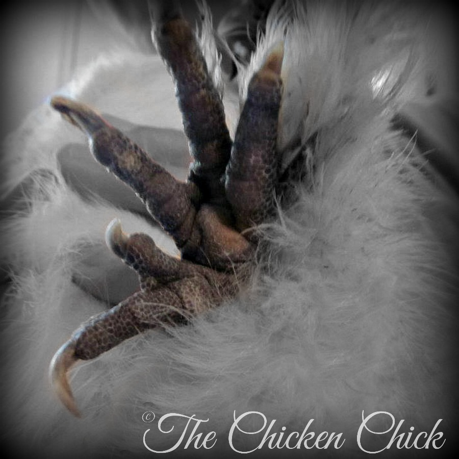 when  u0026 how to trim a chicken u0026 39 s nails  u0026 rooster u0026 39 s spurs