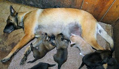 Seekor Anjing Di Peternakan Mengadopsi Seekor Anak Kucing