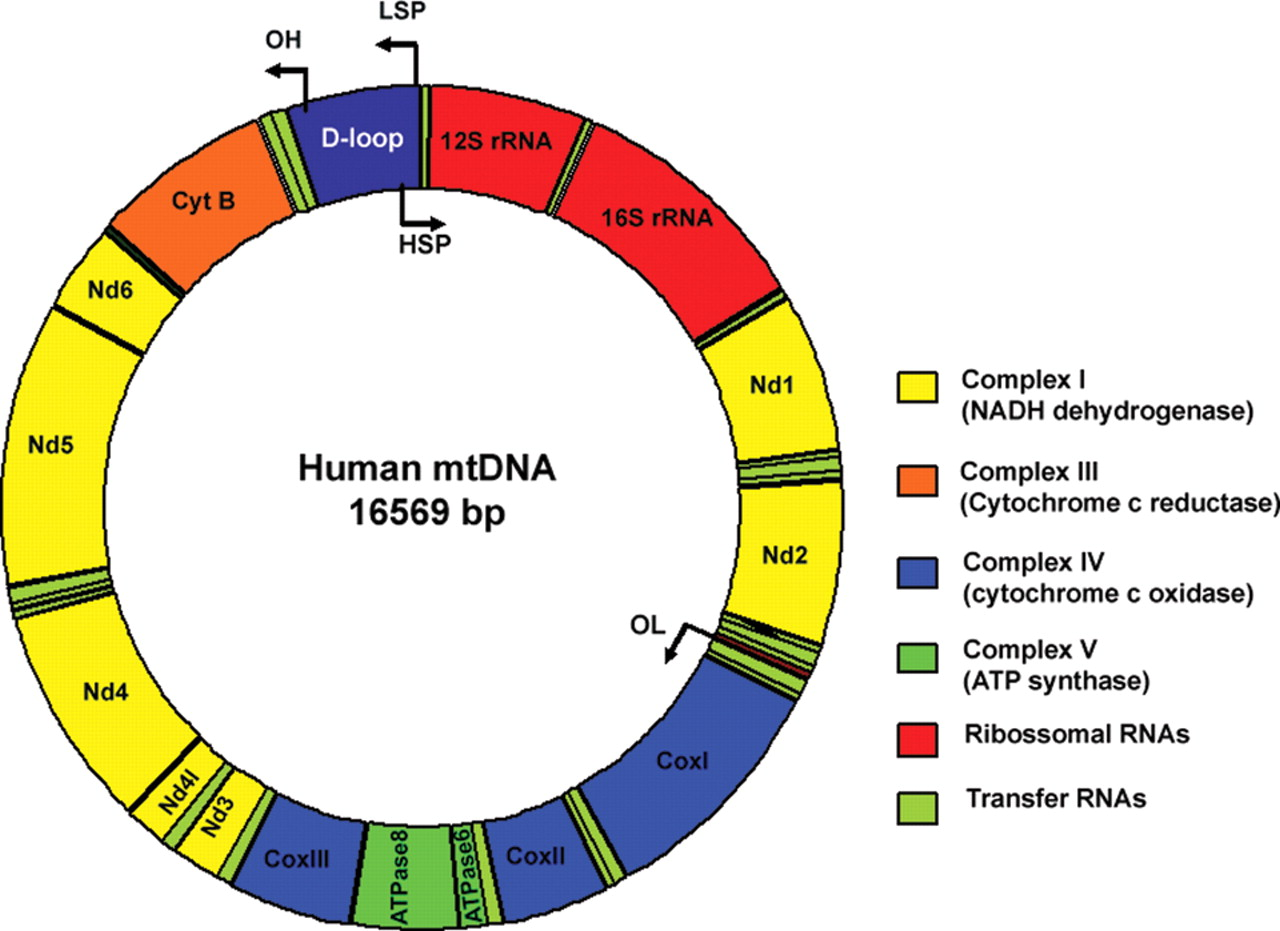 mutations on mitochondria inside the human body Children born to older mothers have greater rates of mitochondrial mutations than one system in the human body, said and of cells inside the cheek from.