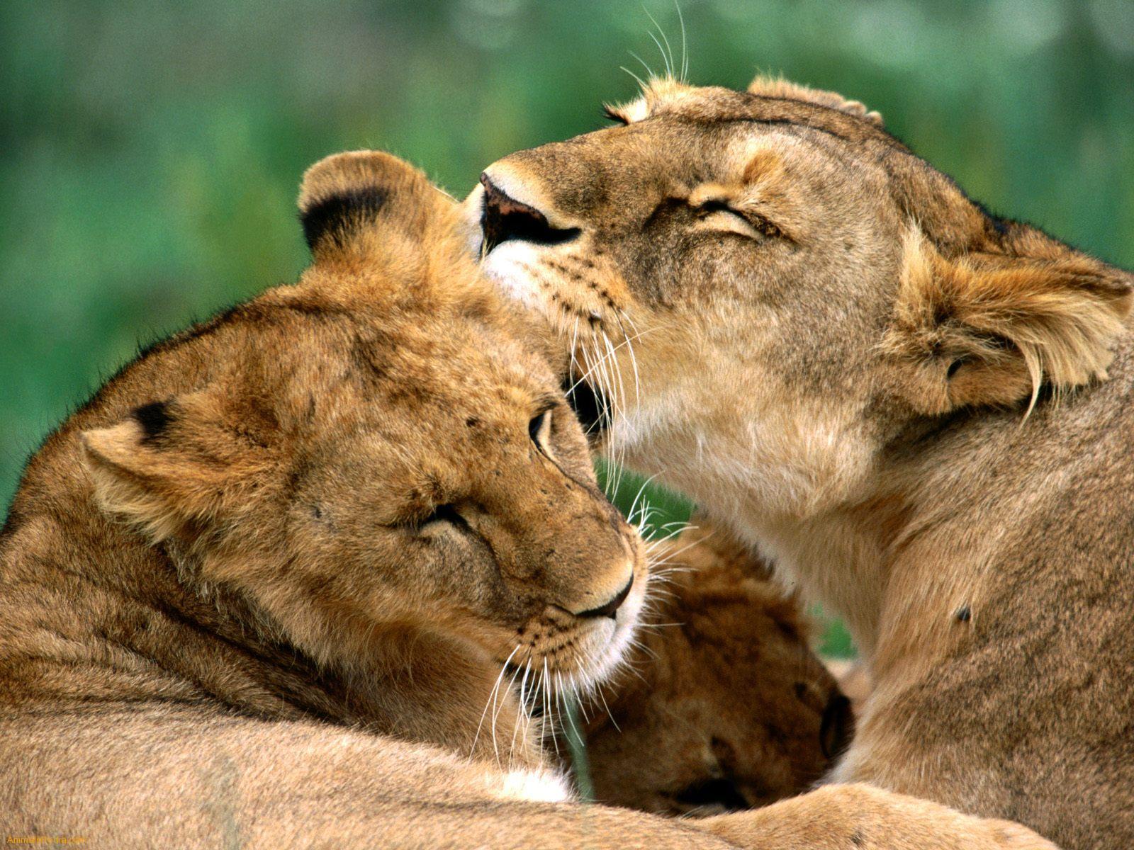 http://4.bp.blogspot.com/-xbvCWjwpwgU/T7K-OGQ1OPI/AAAAAAAAAXM/sOZ0zgz-OF0/s1600/The-best-top-desktop-lion-wallpapers-hd-lion-wallpaper-9.jpeg
