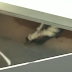 Cardinals share dugout with skunks at Dodger Stadium (Video)