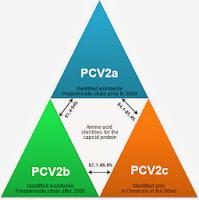 Các chủng khác nhau của PCV2.