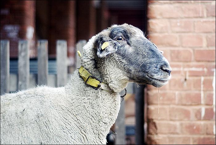 Ostern, Schaf