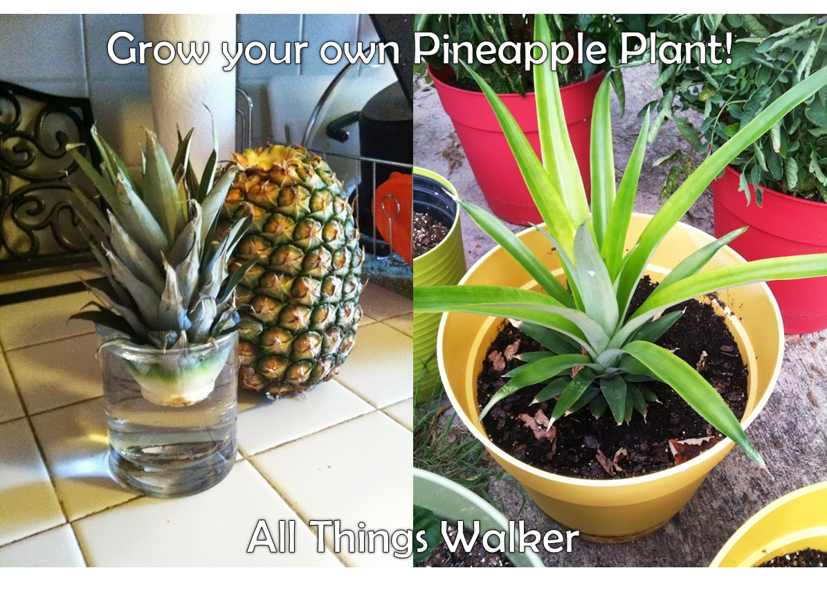 all things walker grow your own pineapple. Black Bedroom Furniture Sets. Home Design Ideas