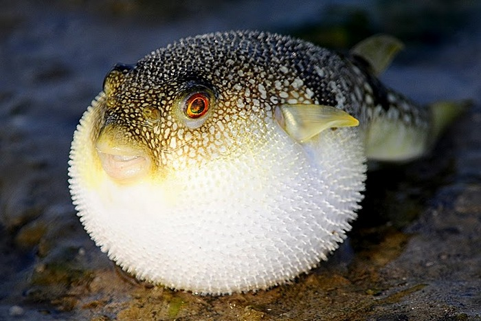 Top 10 top 10 most poisonous animals in the world for Mini puffer fish