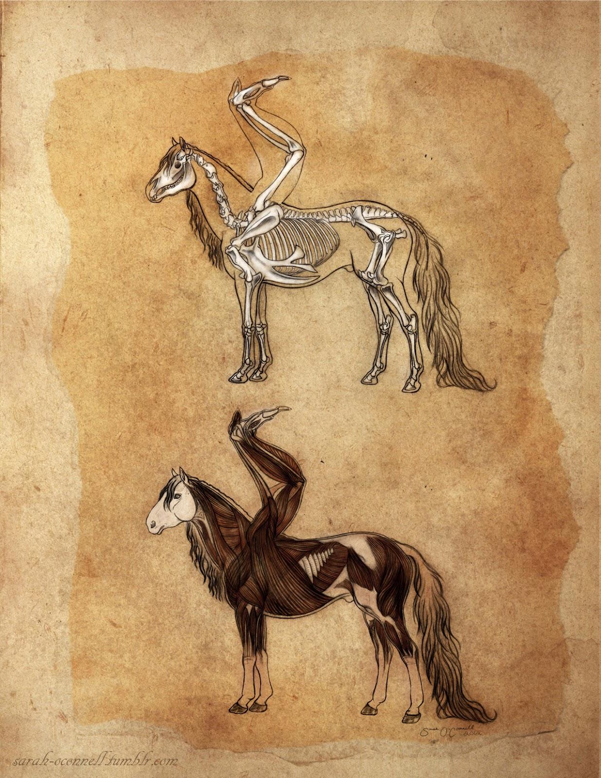Sarah Oconnell Pegasus Anatomy