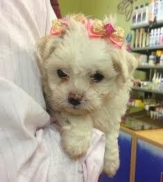 A linda filhotinha Mallu Pipoca
