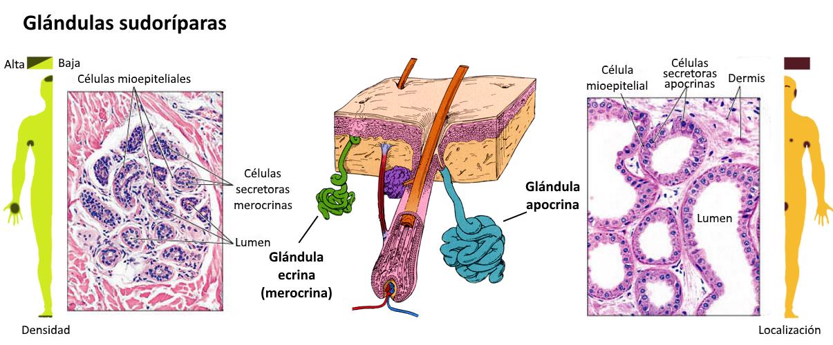Resultado de imagen de Pérdida de función en los tejidos vivos con el paso del tiempo