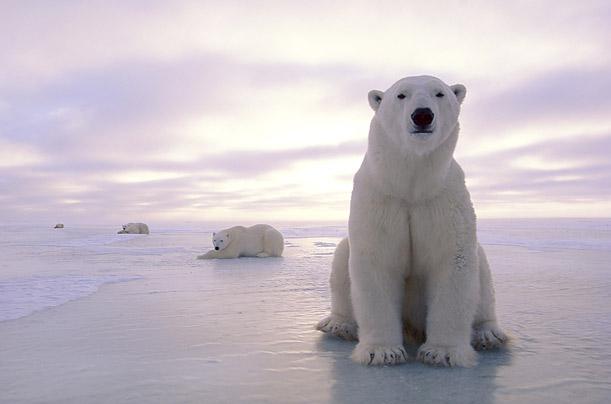 Foto beruang laut
