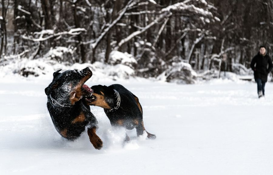 32. Dogs playing in snow by Jerry Pena