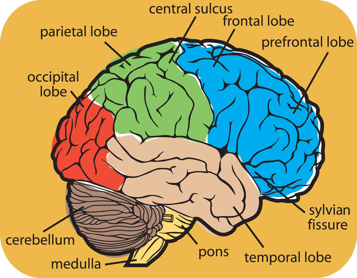Human anatomy brain