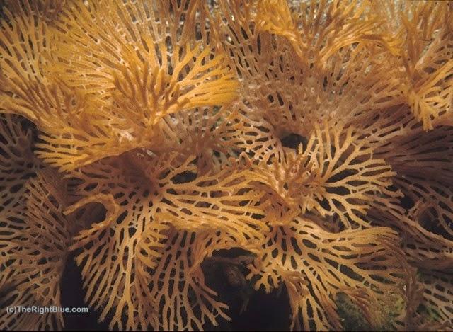 Lace Bryozoan (Reteporelina denticulata)