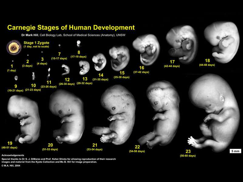 Stages in Pregnancy