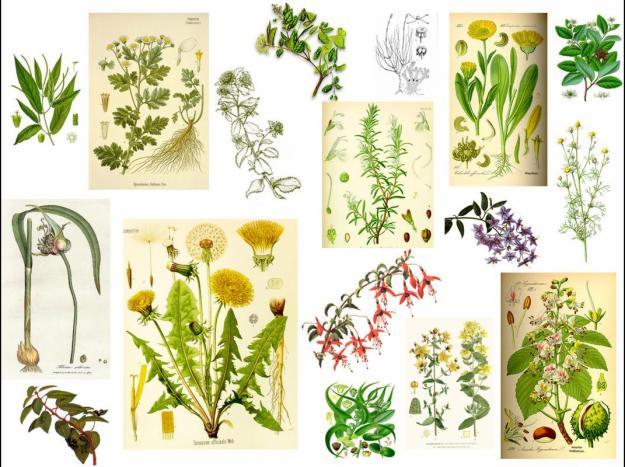 El burgalés: Plantas medicinales