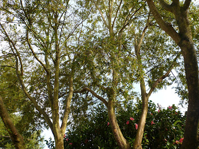 Azara microphylla - Tree Top