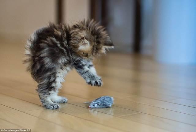 anak kucing main dengan tikus mainan