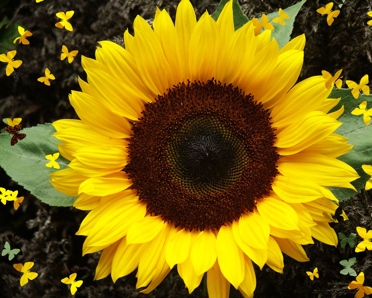 sunflower-wallpaper.jpg