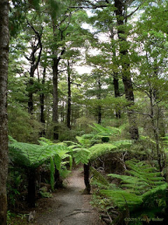 Undisturbed, Beech and fern forest, photo ©2014 Tina M Welter, Butterfly Creek trail near Eastbourne, New Zealand.